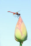 Dragonfly. A red dragonfly on top of lotus bud. Scientific name: Crocothemis servilia Drury Stock Images