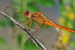 Dragonfly Red-veined darter or Sympetrum fonscolombii. Adult dragonflies are characterized by large, multifaceted eyes, two pairs of strong, transparent wings Royalty Free Stock Photos
