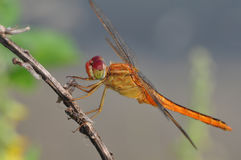 Dragonfly Red-veined darter or Sympetrum fonscolombii. Adult dragonflies are characterized by large, multifaceted eyes, two pairs of strong, transparent wings Royalty Free Stock Photography