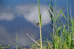 Dragonfly on a reed on a background of water Royalty Free Stock Photography