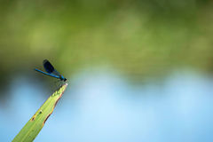 Dragonfly on a reed blade in the river with blue and green blurred background. Stock Image