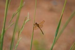 Dragonfly on a reed Stock Image