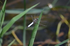 Dragonfly. In the reeds on a sunny day Royalty Free Stock Images