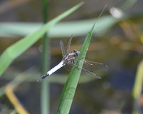 Dragonfly. In the reeds on a sunny day Royalty Free Stock Image