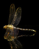 Dragonfly and reflection Royalty Free Stock Photo