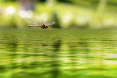 A flying dragonfly reflected on the pond of a Zen garden Stock Image