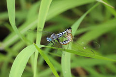 Dragonfly reproduction Royalty Free Stock Photography