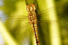 Dragonfly at rest. Royalty Free Stock Image