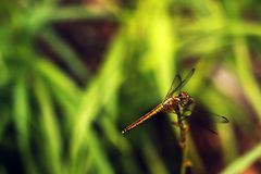 Dragonfly rest on grass with blur background Stock Image