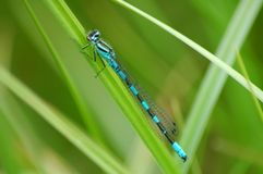 Dragonfly on rest. Middle of Norway, summer, dragonfly, green gras Royalty Free Stock Photo