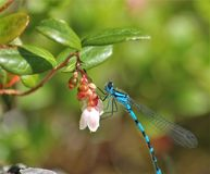 Dragonfly on rest. Middle of Norway, summer, dragonfly, green gras, flowers Stock Photography