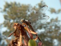 The dragonfly at rest royalty free stock images