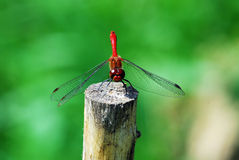 Dragonfly rest on the stake Stock Photography