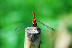 Dragonfly rest on the stake Royalty Free Stock Images