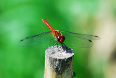 Dragonfly rest on the stake Stock Photos