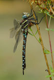 Dragonfly at rest Royalty Free Stock Photography