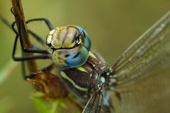 Dragonfly at rest Stock Photo
