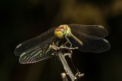 Free Dragonfly Resting Stock Image - 121374941
