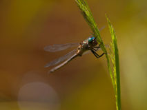 Dragonfly resting. A dragonfly is resting on grass Stock Images