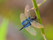 Dragonfly Resting Stock Image