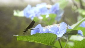 Dragonfly resting stock footage