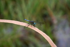 Dragonfly resting on a blade of grass. Close-up blue dragonfly sitting on a blade of weathered grass Royalty Free Stock Photos