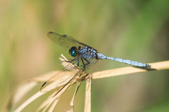 Dragonfly resting Royalty Free Stock Images