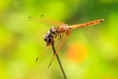 Dragonfly resting on a branch Royalty Free Stock Images