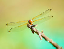 Dragonfly resting on the branch Royalty Free Stock Image