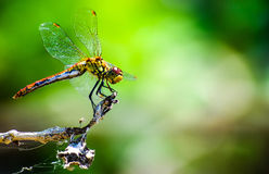 Dragonfly resting on branch Royalty Free Stock Photography