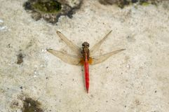 Dragonfly resting on a broken wall royalty free stock images