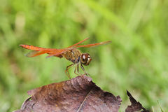 Dragonfly resting on dry leaf Royalty Free Stock Images