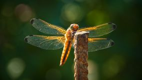 Dragonfly resting on the fixture. In the garden Royalty Free Stock Images