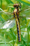 Dragonfly. Resting on grass blade -Anax or Anisoptera Royalty Free Stock Photography