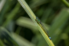 Dragonfly resting on the grass Stock Photography