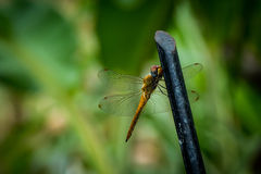 Dragonfly resting on a iron fence Stock Photography