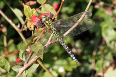 Dragonfly resting with its wings spread on a wild rose bush. Royalty Free Stock Photos