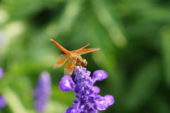 Dragonfly is resting on the lavender flower.  Royalty Free Stock Images