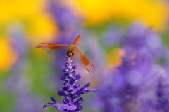 Dragonfly is resting on the lavender flower Stock Image