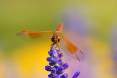 Dragonfly is resting on the lavender flower Royalty Free Stock Photos