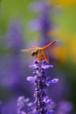 Dragonfly is resting on the lavender flower Stock Photos