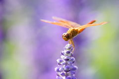 Dragonfly is resting on the lavender flower.  Stock Photos