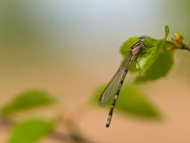 Dragonfly resting on leaf Royalty Free Stock Photo