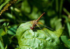 Dragonfly resting on leaf Royalty Free Stock Photography