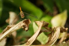 Dragonfly. Resting on leaves, green blurred background, wings down Royalty Free Stock Photo