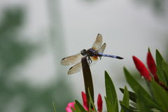 Dragonfly resting on an Oleander bud. Stock Photos