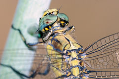Dragonfly Resting; Particular Royalty Free Stock Photo