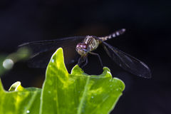 Dragonfly resting on plant Stock Photography