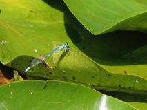 Dragonfly resting on pond leaf. Blue dragonfly takes a break on a pond lily leaf Royalty Free Stock Image