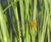Dragonfly resting on reed. Focus on head Stock Photography